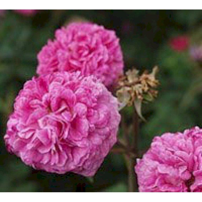 Gammeldags Rose 'Belle de Crécy'