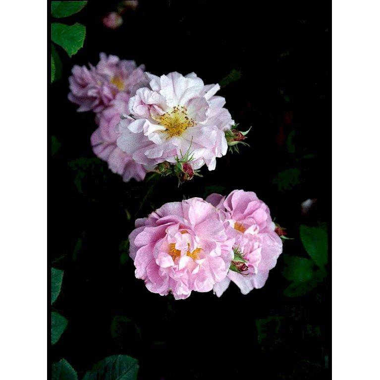 Gammeldags Rose 'Celsiana'