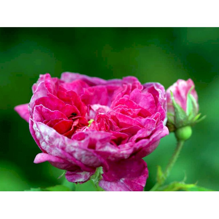 Gammeldags Rose 'Charles de Mills'