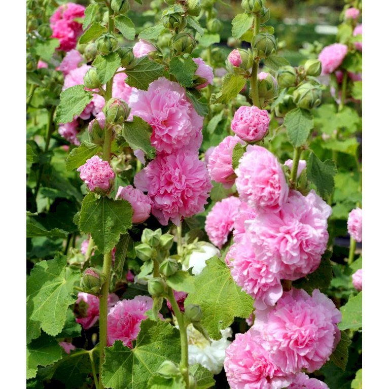 Stokrose 'Charters Rosa'