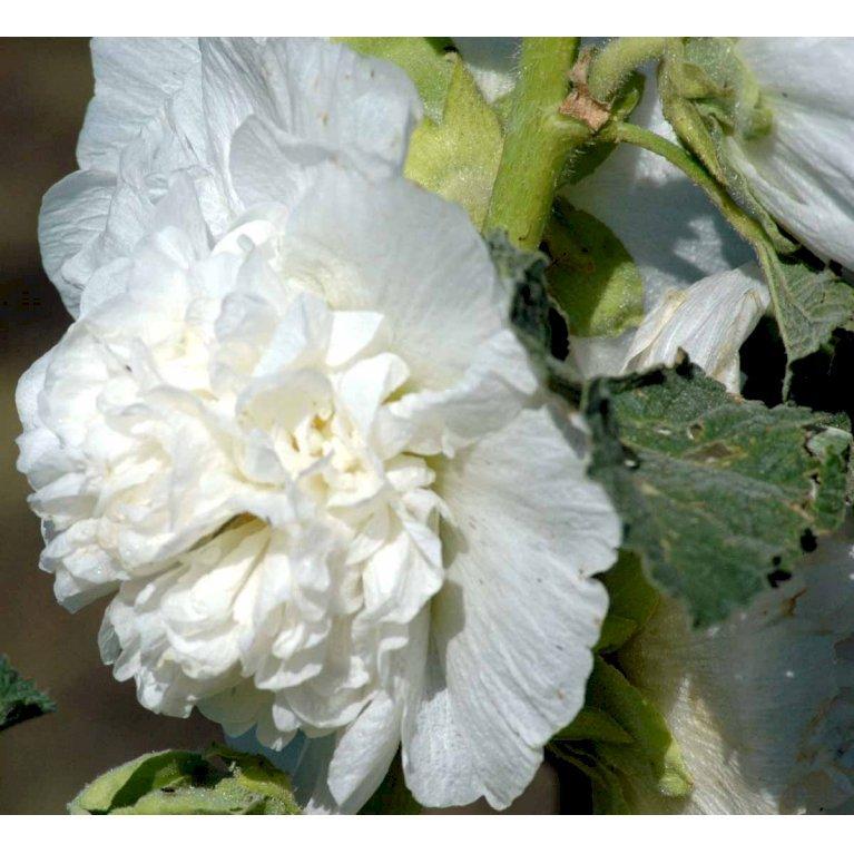 Stokrose - Hvid