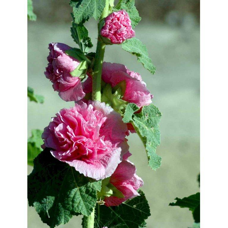 Stokrose - Rosa