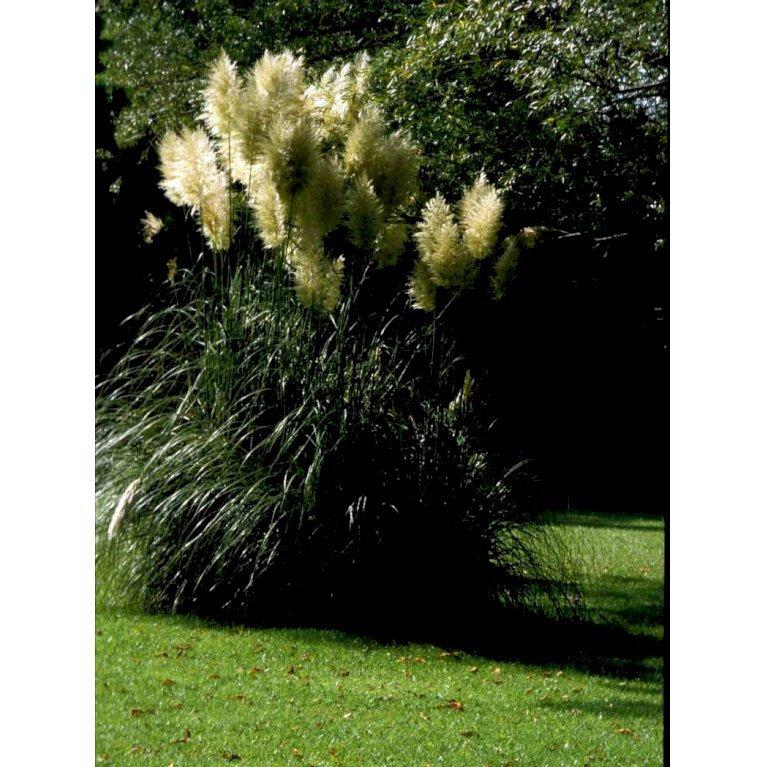 Pampasgræs