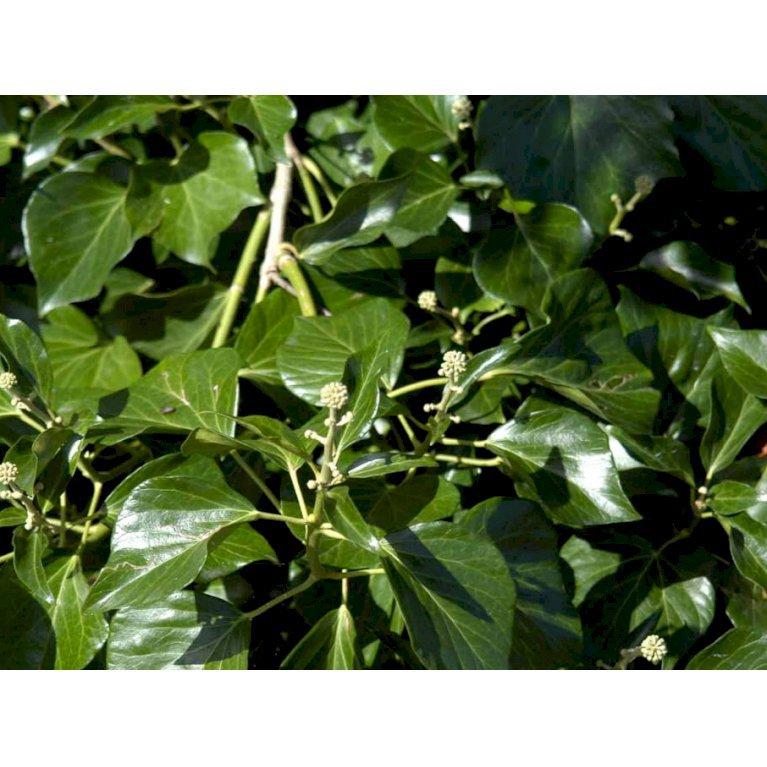 Busk-Vedbend 'Arborescens'