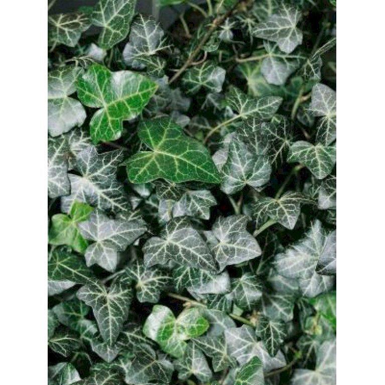 Småbladet Efeu
