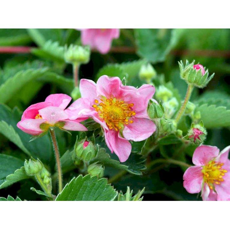 Prydjordbær 'Pink'