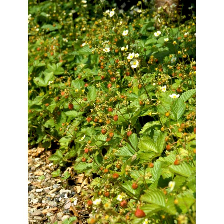 Skovjordbær
