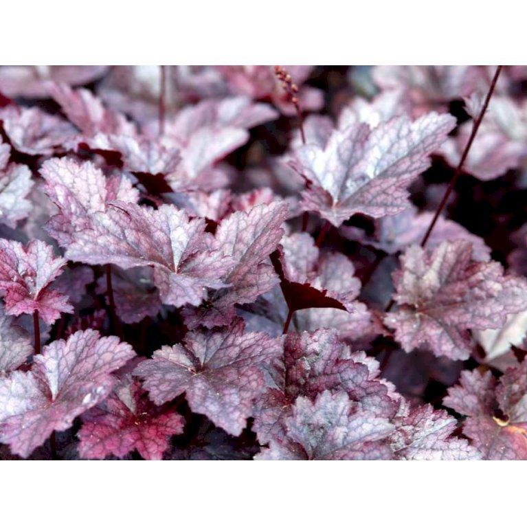 Alunrod 'Palace Purple'