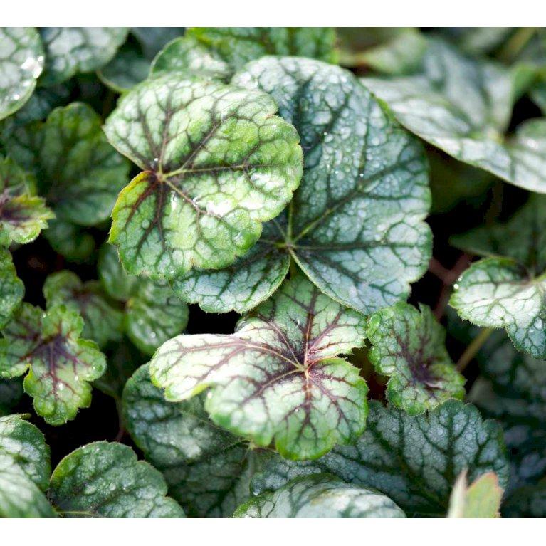 Alunrod 'Green Spice'®