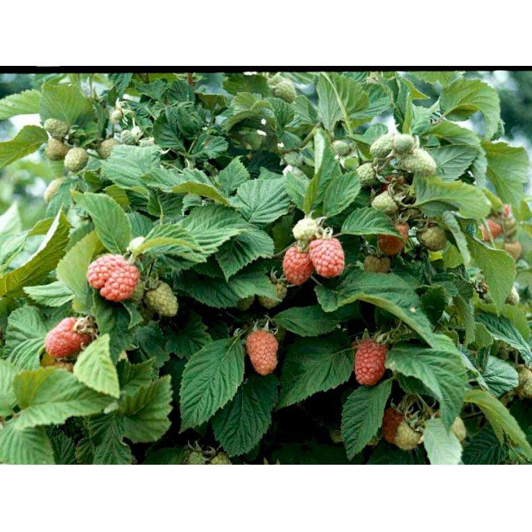 Hindbær 'Veten'