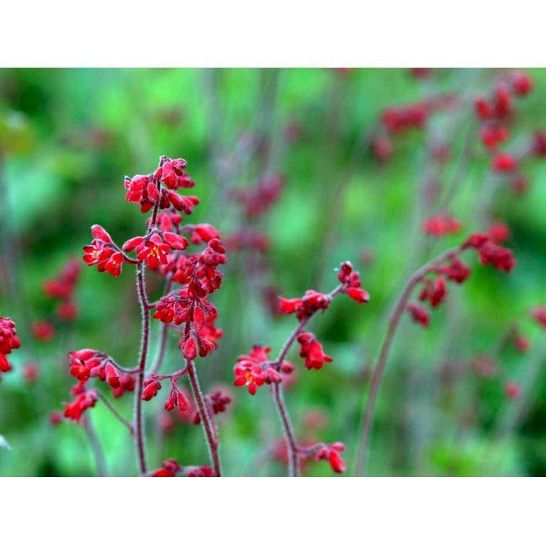 Alunrod 'Ruby Bells'