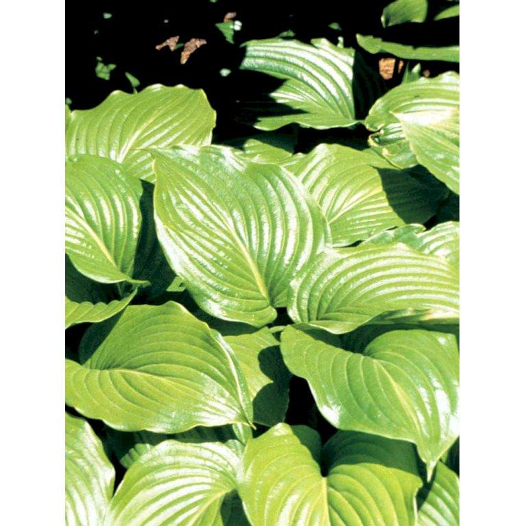 Funkia 'Hyacinthina'