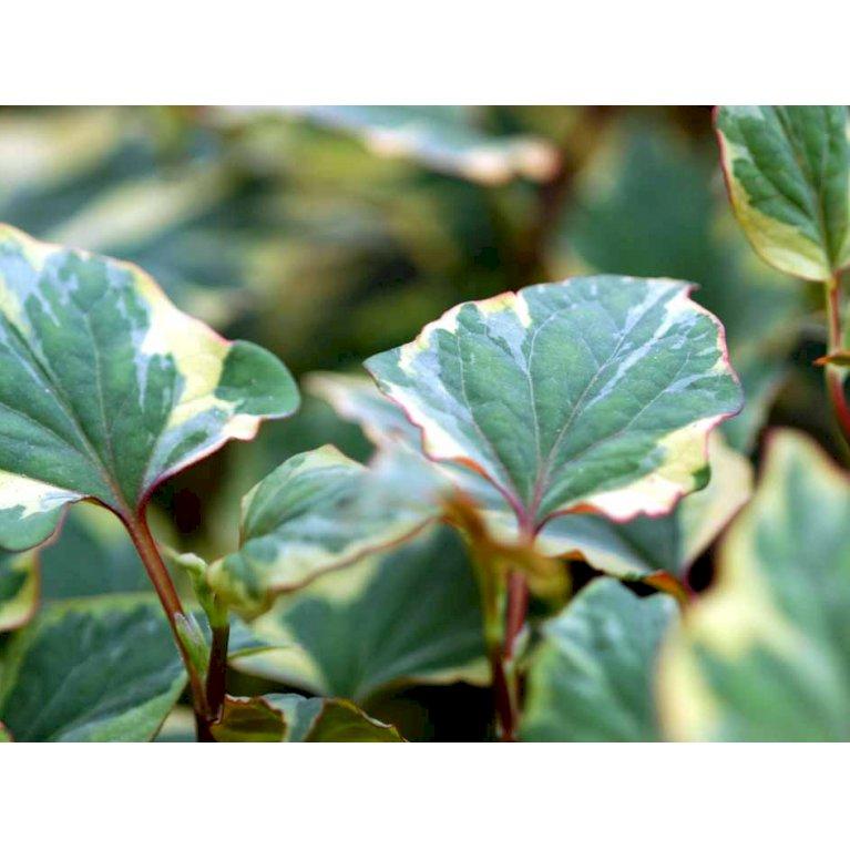 Kamæleonblad