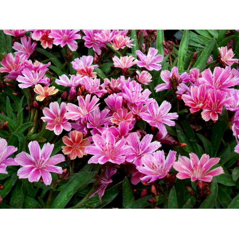 Lewisia 'Little Plum'
