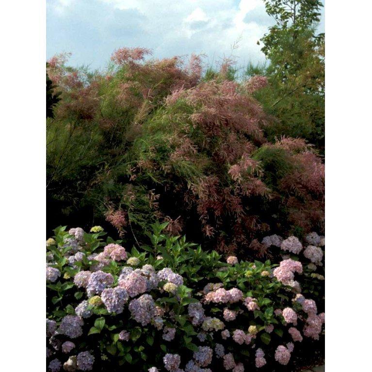 Hortensia Bouquet Rose'