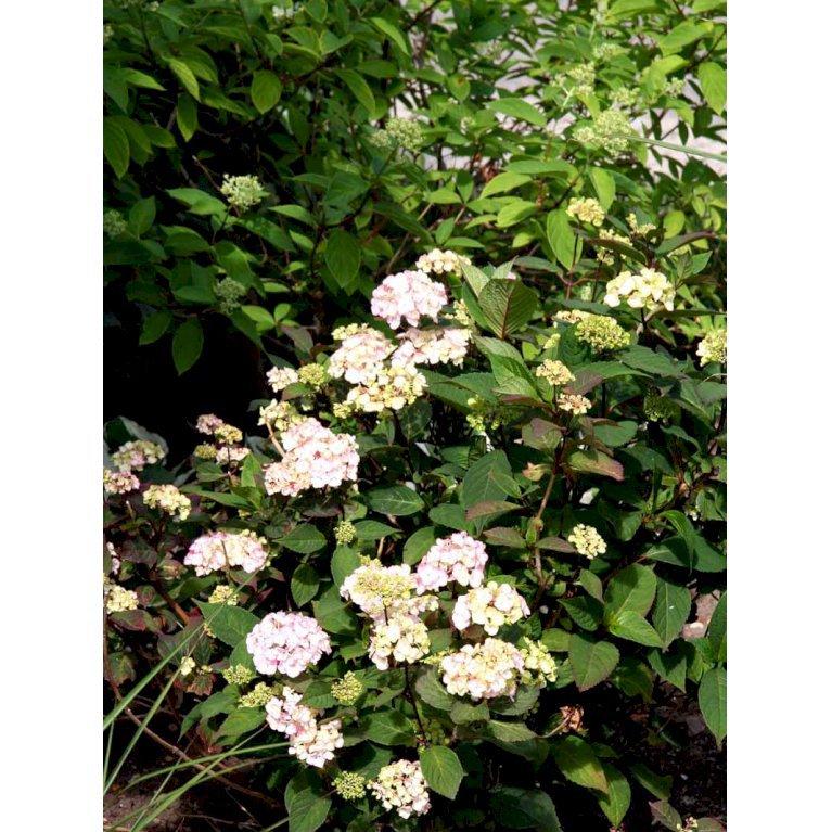 Havehortensia 'Preziosa'