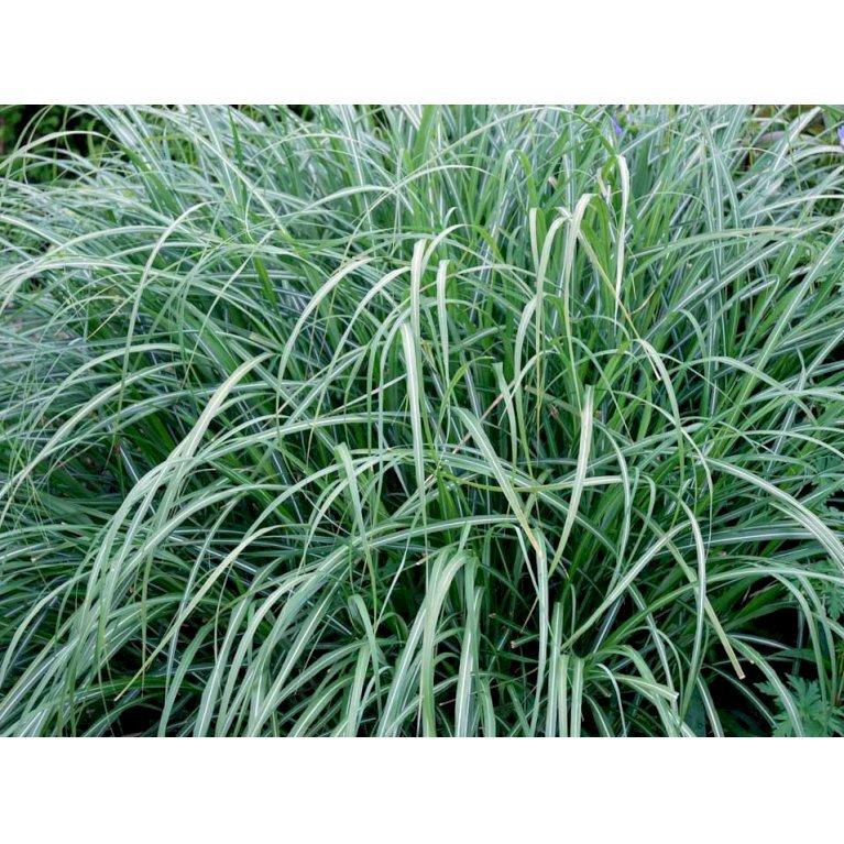 Kinesisk græs