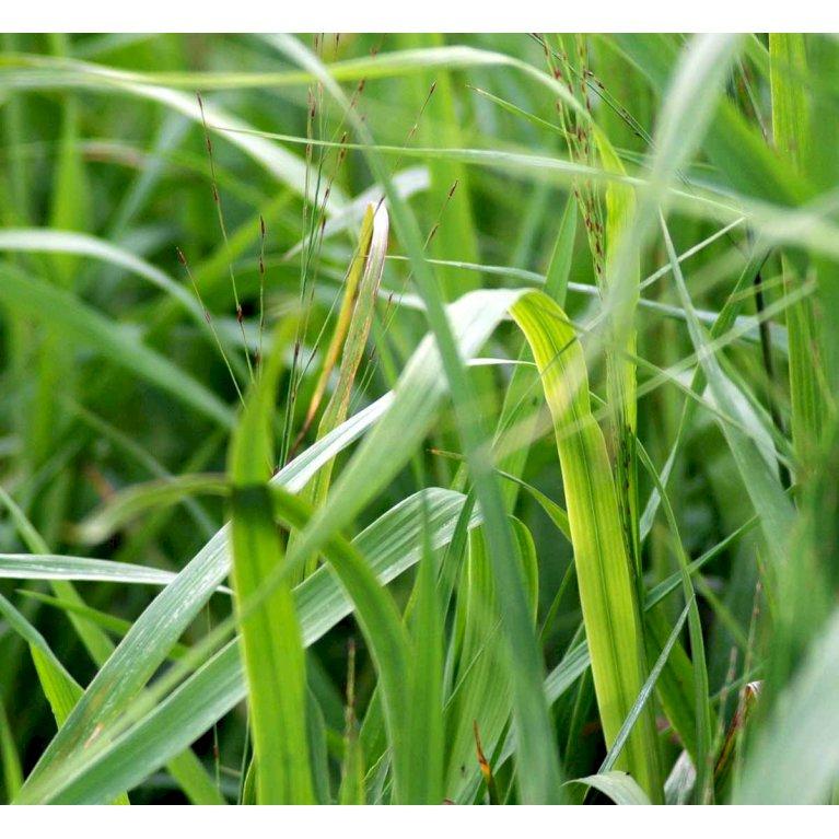 Pibegræs 'Transparant'