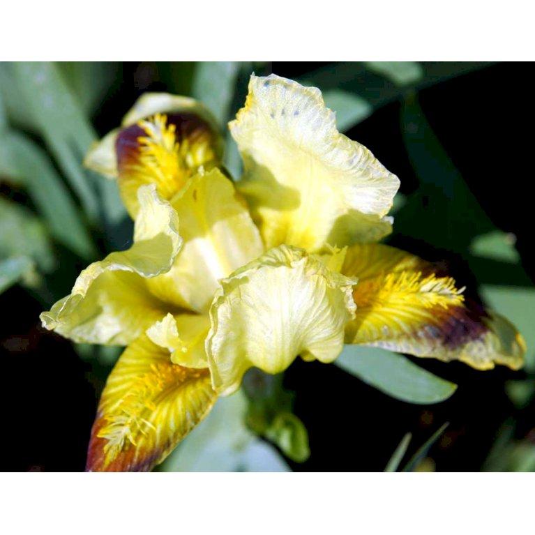 Dværg-Iris