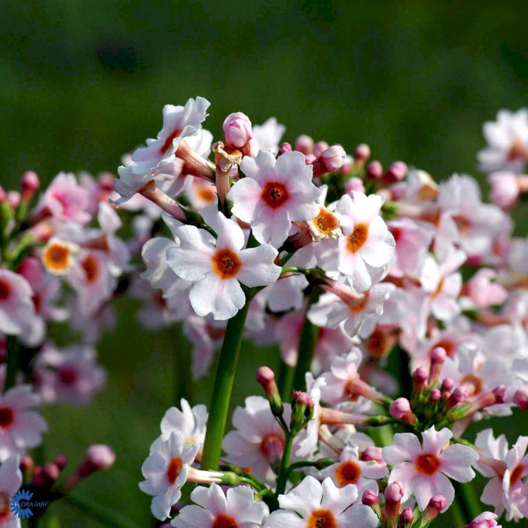Japansk Primula