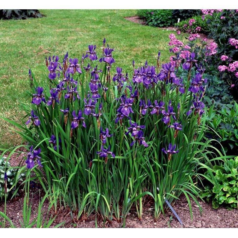 Sibirisk Iris