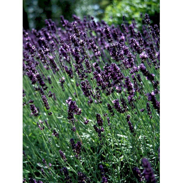 Lavendel 'Hidcote Blue'