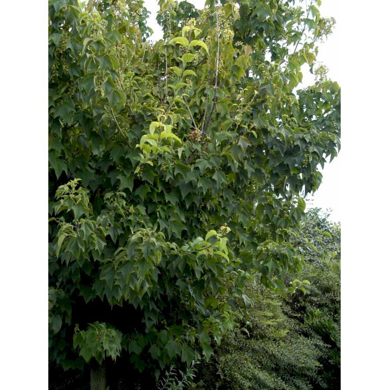 Acer rufinerve