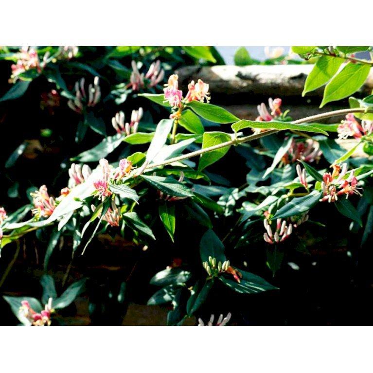 Stedsegrøn Kaprifolie