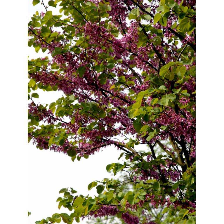Almindelig judastræ