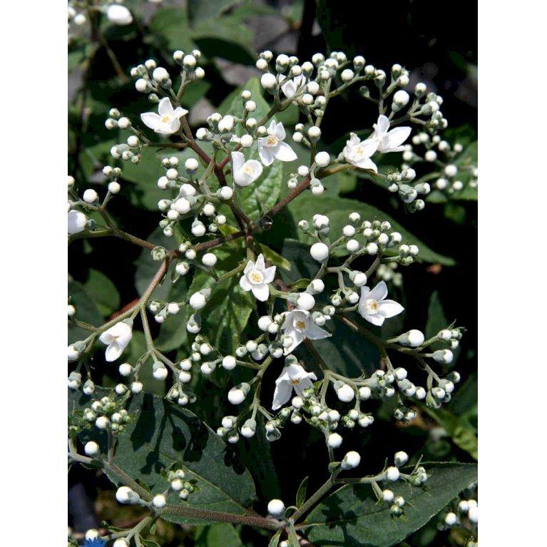 Deutzia Setchuenensis Var. Corymbiflora