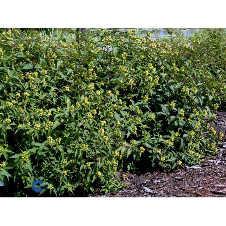 Diervilla Sessilifolia 'Dise'