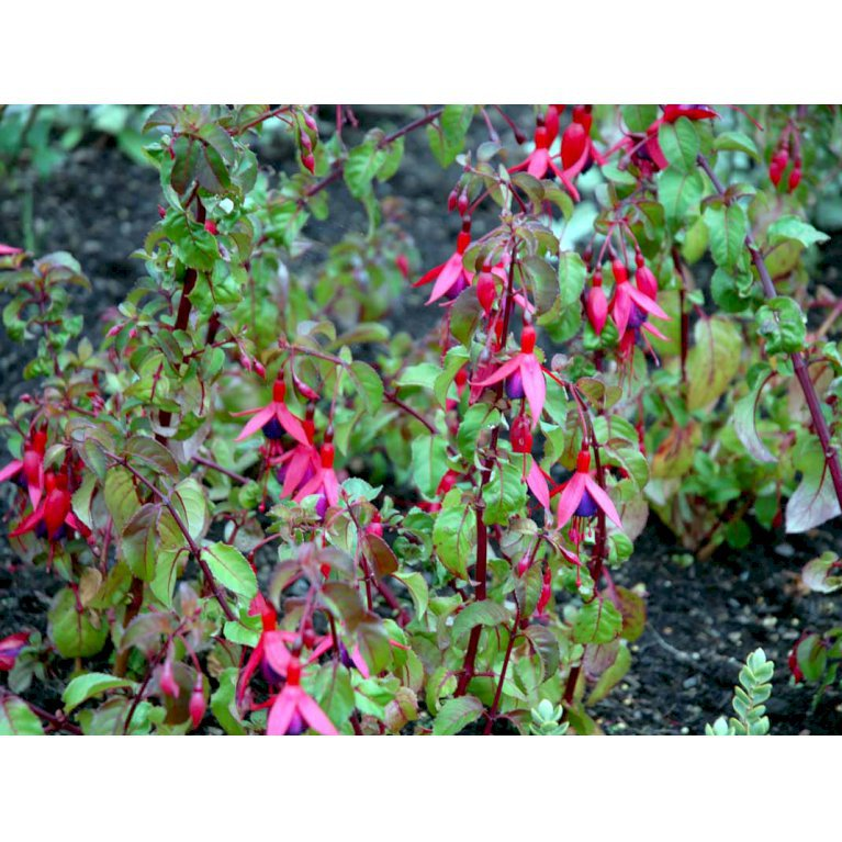 Fuchsia 'Mrs. Popple'