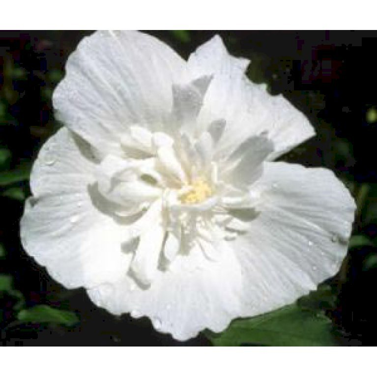 Syrisk Rose 'White Chiffon' (R)