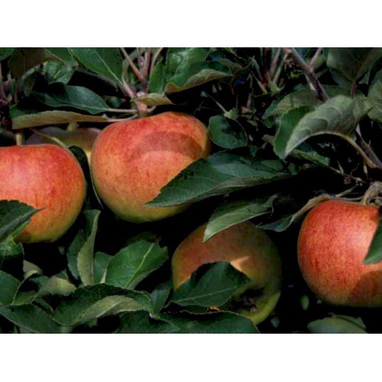 Æble 'Jonagold' M9