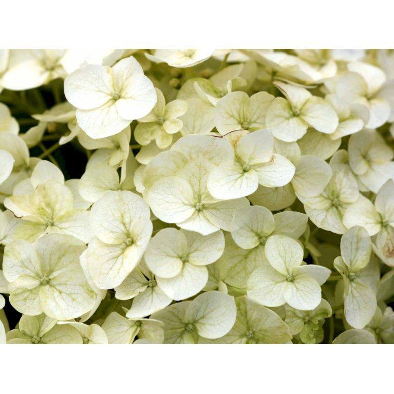 Hydrangea Arborescens 'Incrediball' (R)