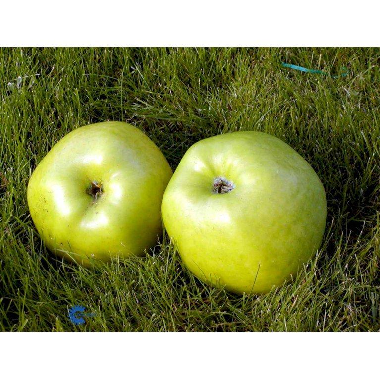 ÆBLE 'SIGNE TILLISCH'