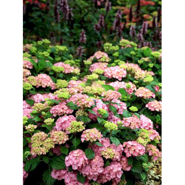 Hydrangea Macrophylla 'Frida'