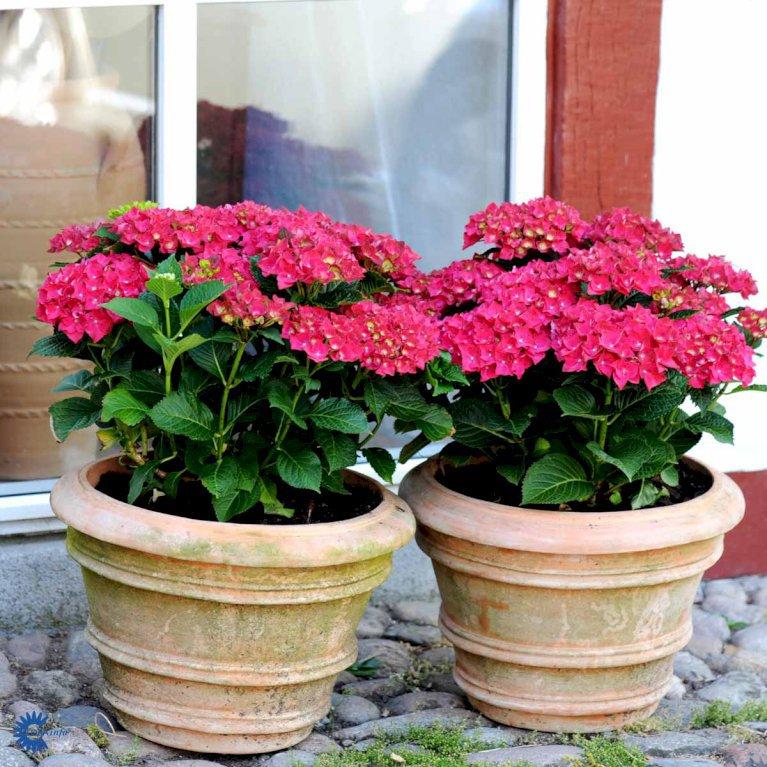 Hydrangea Macrophylla 'Red Baron'