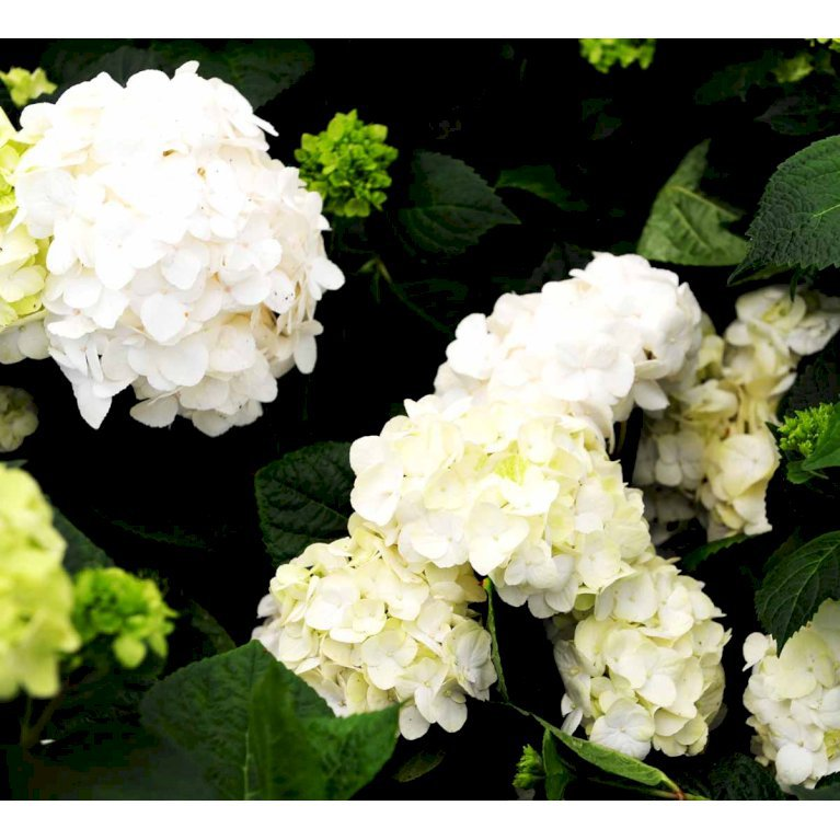 Havehortensia 'The Bride'