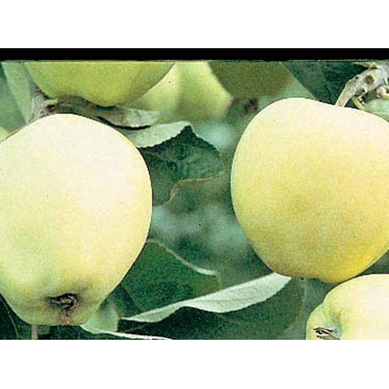 Æble 'Transperante Blanche'