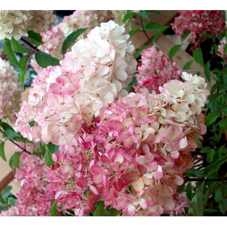 Have-hortensia  'Vanille Fraise'