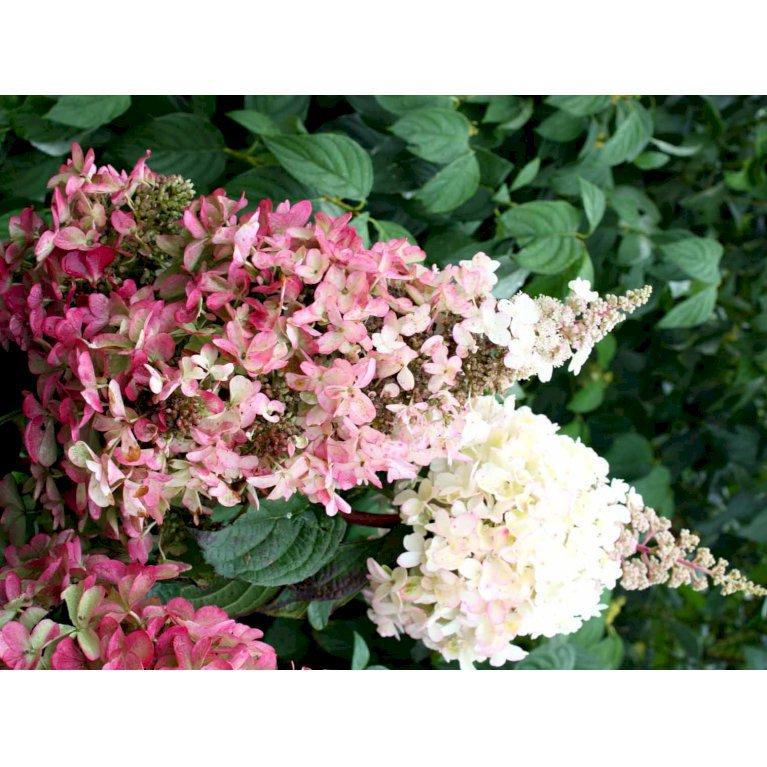 Havehortensia 'Pinky-Winky' ®