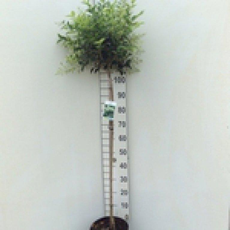 Ligustrum Japonicum 'Korean Dwarf'