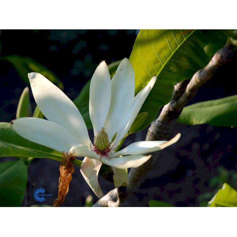 Paraply-magnolia