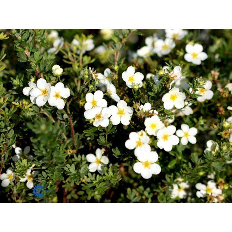 Potentilla Fruticosa 'Mckay'S White'