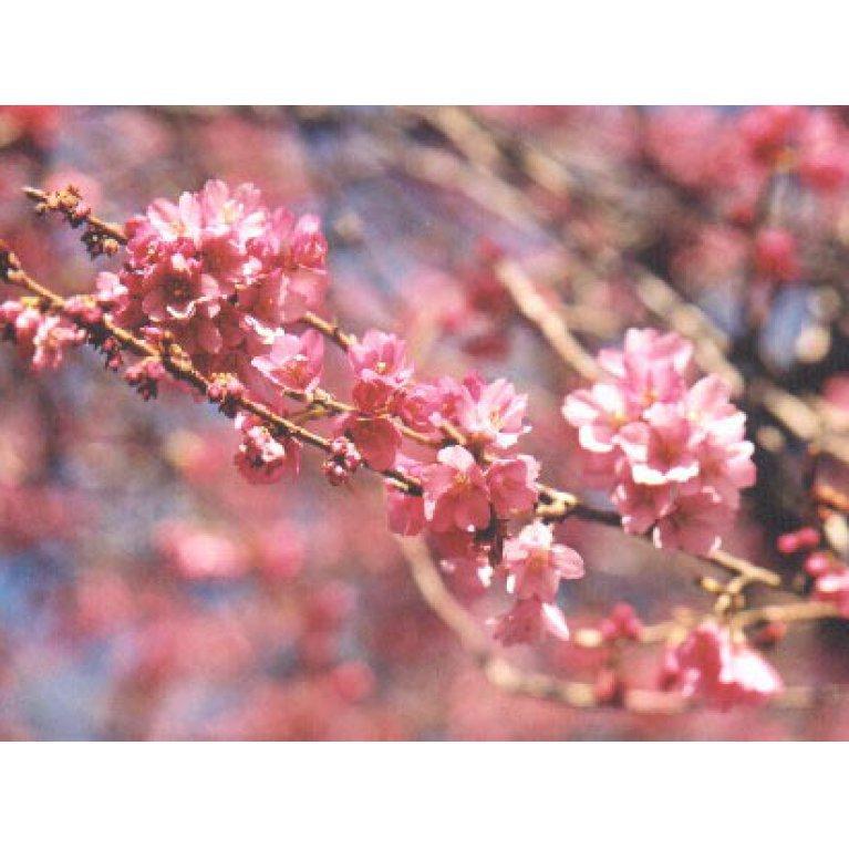 Prunus incisa 'February Pink'