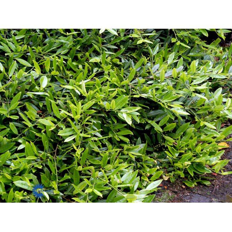 Prunus Laurocerasus 'Grüner Teppich'