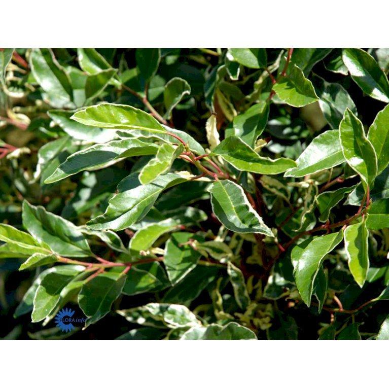 Prunus Lusitanica 'Variegata'