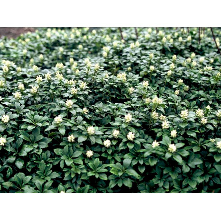 Vinterglans 'Green Carpet'