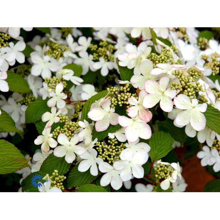 Viburnum Plicatum 'Pink Beauty'